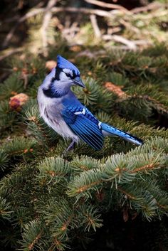 Beautiful Blue Jay - looks like a Christmas ornament