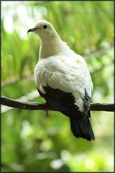 Pied Imperial Pigeon by ~JaimeSkelton