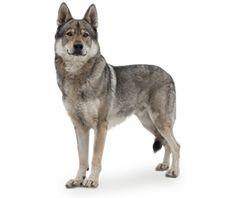 Razza cane: Cane Lupo Cecoslovacco