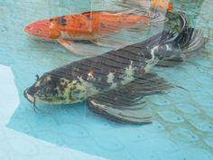 We keep the fish is blue kiddie pools and large coolers for Koi kiddie pool