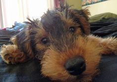 Cant wait for the day I own one or two of my own!! Love welsh/airedales mixes!!!
