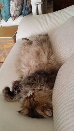 La siesta de Tupak. ..75 cm de gato dormido (sin contar la cola)...