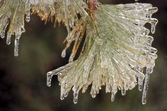 Ice coated pine tree in Wilmington, Illinois, after a severe winter storm