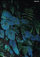 Begonia pavonina , Malaysia