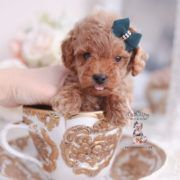 Teacup And Toy Poodle Puppies Cuteteacuppuppies Teacup And Toy