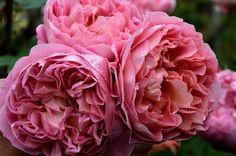~My Boscobel roses