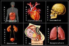 zonaClic - activitats - Aparells del cos humà