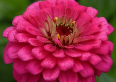 Vibrant Zinnia   © 2013 Denyse Duhaime Featured in: Amazing FAA Photographers