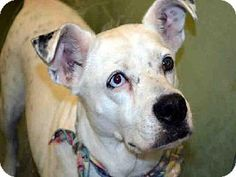 Ft Lauderdale, FL - Pointer Mix. Meet TRINITY, a dog for adoption. http://www.adoptapet.com/pet/11259044-ft-lauderdale-florida-pointer-mix