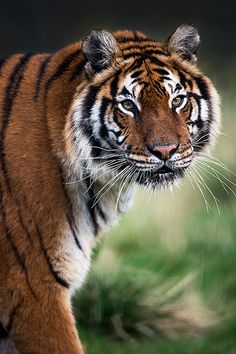 ~~Tiger portrait by Dave learns his Dig SLR?~~