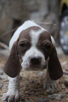 Catalburun, Burgos Retriever, Spanish Pointer, Pachon Navarro Dog