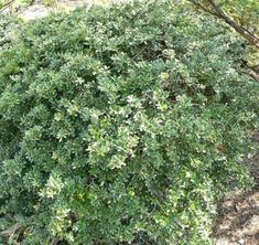 Ilex crenata - Japanese Holly or Box-leaved Holly.