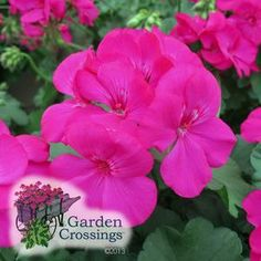 Pelargonium (Geranium)Calliope Lavender Rose Beautiful geranium for hanging baskets, planters, and container gardens.