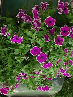 "Petunia Panache™ Aubergine Halo--Suprising combination of deep purple edged in clean white.      	Full to part sun. Container, basket or landscape use.    	Nice with bright yellow and red flowers and chartreuse leaves. Plant Details: Type:  Annual 	 Height: 	Up to  8"" 	Spread:Up to  12"" 	Colr: Purple"