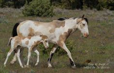 "South Steens Wild Horses ""Legacy"" Golden Girl was the last foal born out of Go. Beautiful Horse Pictures, Beautiful Horses, Cute Horses, Pretty Horses, Cheval Pie, Painted Pony, Majestic Horse, Wild Mustangs, Horse Drawings"