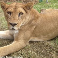 CHECK THIS OUT: After years of horrific abuse, there is finally a chance to get these lions to safety! The Lion Sleeps Tonight, Mountain Lion, Pumas, Panthers, Big Cats, Lions, Safety, Check, Animals