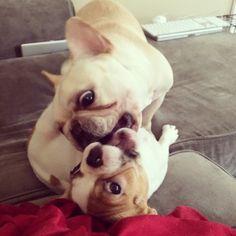 'Aaaargh!' French Bulldogs, via The Evil Adventures of TurtleBatPig.