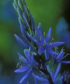 Blue Danube - Nancy Christensen Macro Photography, Custom Framing, Online Printing, Framed Prints, Wall Art, Artwork, Flowers, Plants, Blue