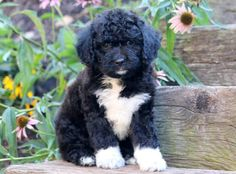 Poodles are usually seen in films, as the animal of option of a trendy character, or in pet shows showcasing their completely groomed hair. Poodle Mix Puppies, Bulldog Breeds, Big Animals, Dog Hacks, Little Dogs, Puppies For Sale, Dog Toys, Dog Pictures, Pet Dogs