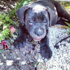Zora #canecorso #puppy