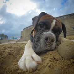 Loves digging up stones on the beach boxer madness #boxer...