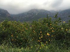 Citromfák a Sóller-i völgyben / Citrus trees in the Sóller valley  #mallorca #holiday #nature #travel #soller