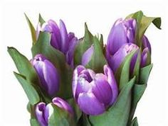 purple tulips Purple Tulips, Purple Things, Spring Time, Pretty, Flowers, Plants, Life, Beauty, Beleza