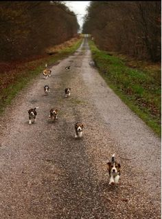 Our local flock of beagles