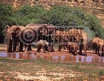 african elephants at waterhole addo national park