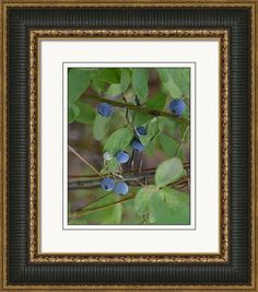 """Framed Print featuring the photograph of """"Blue Berries"""" by rd Erickson"""