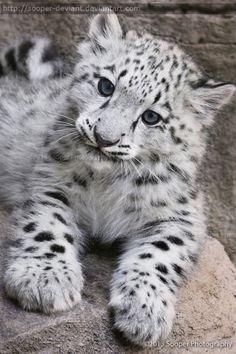 Snow leopard cub Leopard cub and Snow leopard Baby Snow Leopard, Leopard Cub, Leopard Kitten, Pretty Cats, Beautiful Cats, Animals Beautiful, Big Cats, Cats And Kittens, Cute Cats