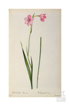 Gladiolus+Hirsulus,+from+`Les+Liliacees',+1805+Giclee+Print+by+Pierre-Joseph+Redouté+at+Art.com