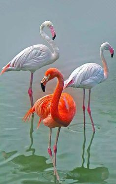 interesting sweet flamingo bird inspiration special : Flamingos are usually highly gregarious birds. Flocks numbering within the plenty may certain you're seen inside extended, leaning airline flight stru. Pretty Birds, Love Birds, Beautiful Birds, Animals Beautiful, Beautiful Pictures, Tropical Birds, Exotic Birds, Colorful Birds, Flamingo Art