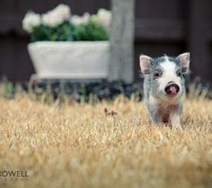 Micro Pigs, Pictures and Information