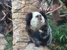 Tití :P (Titi Monkey) - Loro Parque, #Tenerife