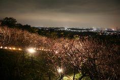 【沖縄おすすめ情報】 やえせ桜まつり 夜の頂上からは、美しくライトアップされた桜と夜景が楽しめる