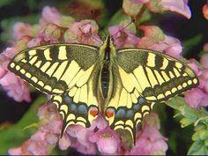 Schwalbenschwanz Papilio machaon Swallowtail  Schmetterlinge und Raupen Südeuropas Griechenland Italien Südfrankreich Spanien Portugal Korsika Sardinien Kroatien Schmetterling