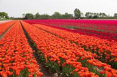 I plan on biking through the Netherlands during tulip season. Tulip Season, Tulip Fields, Colorful Plants, Natural Phenomena, Naturally Beautiful, Nature Pictures, Beautiful World, Shrubs, Perfect Place