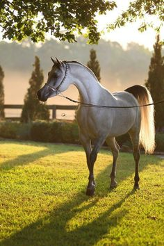 Gorgeous Lightening Grey Arabian