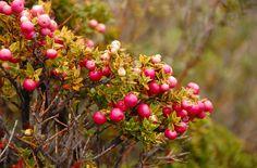 Chaura, planta chilena nativa