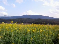 Spring blossoms in my hometown. It is the Blooming season for rape flower