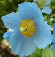 Himalayan Blue Poppy Meconopsis betonicifolia Sometimes referred to as 'Tibetan Blue' and the most well known of the Himalayan Poppy varieties. Large satiny flowers in an amazing shade of true blue. Shade Garden, Garden Plants, Blue Poppy, Lawn And Landscape, My Favorite Color, Garden Landscaping, Perennials, Outdoor Gardens, Beautiful Flowers