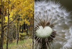 white dandelion and fall colored, yellow, birch trees