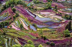 Les rizières de Chine