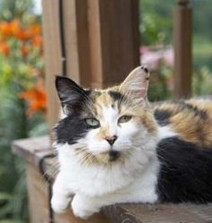 Things To Consider Before Getting A Pet Calico Cat