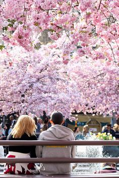 Where to see cherry blossoms in Sweden –from Stockholm to Sundsvall
