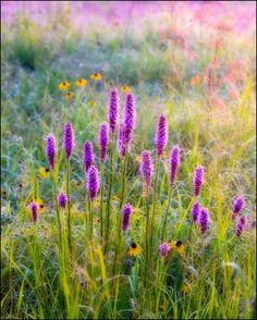 Nature Photography, Flowers, Prairie, Searles Prairie, Wildflowers, Blazing Star, Liatris
