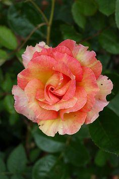 "Grandiflora Rose ~ ""Rosa 'La Parisienne"", France, before 2009"