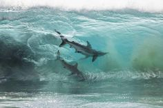 Australian photographer Sean Scott spends much of his time surrounded by the clear blue ocean. In his vibrant images, he reflects the beauty of the landscape & the creatures that inhabit it. One of his most memorable pics showcases the great power of waves & how they can envelop any creature, no matter how big or small. 2 sharks inside of a large ocean wave, battling the current head on. The force of the water, with their fervent swimming, appears to freeze them in time.