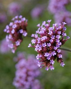 """Verbena - Due to their prominent place in religious ceremonies throughout history, these petite purple flowers mean """"pray for me."""""""